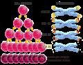 Waarom zijn telomeren belangrijk?